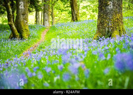 Bluebell woods at Derwent Water, Lake District National Park, UNESCO World Heritage Site, Cumbria, England, United Kingdom, Europe - Stock Photo