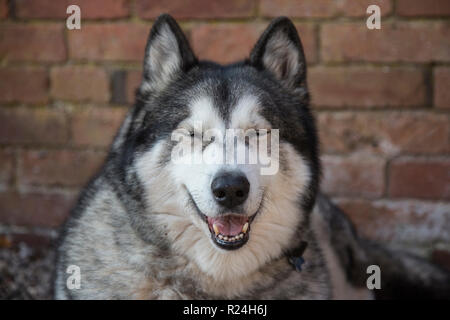 husky cross malamute sitting outside in a courtyard waiting to go for a walk, wolf coloured facing the camera - Stock Photo