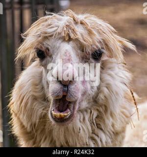 Portrait of an ugly alpaca (Vicugna pacos) - Stock Photo