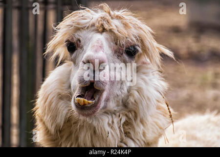 Awfully ugly alpaca with bulging eyes and crooked yellow teeth (Vicugna pacos) - Stock Photo