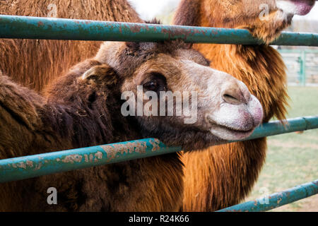 Brown Bactrian camel stuck his head through the fence and watching with sadness in his eyes (Camelus bactrianus) - Stock Photo