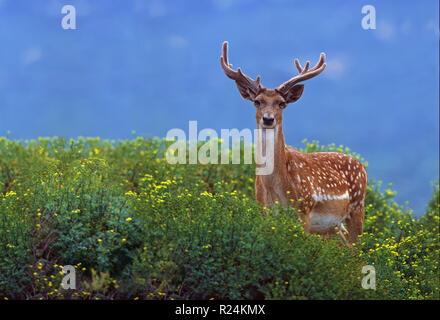 Male Mesopotamian (Persian) Fallow Deer (Dama dama Mesopotamica) Photographed in Israel, Carmel Mountain - Stock Photo