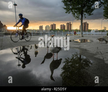 London, England, UK - May 13, 2014: A cyclist rides past a family of geese and goslings paddling in a puddle on the River Thames Path in Battersea, we - Stock Photo