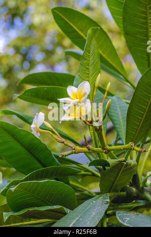 White and yellow plumeria frangipani flowers with leaves - Stock Photo