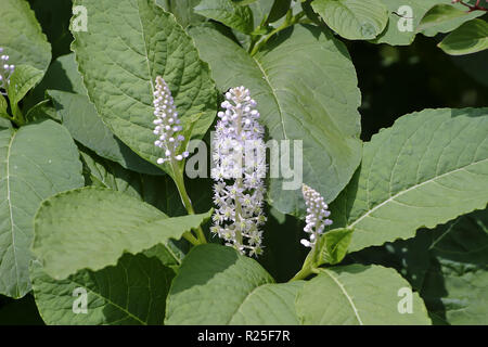 Flower and leaves of the Asian Pokeweed, Phytolacca acinosa - Stock Photo