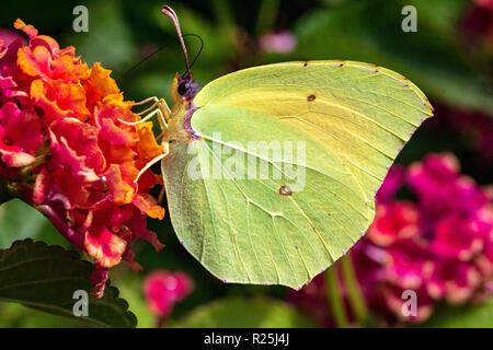 Detailed Side View of a Brimstone Butterfly (Gonepteryx rhamni) Feeding on a warm Summer Day #2. Baia Sardinia, Sardinia, Italy.