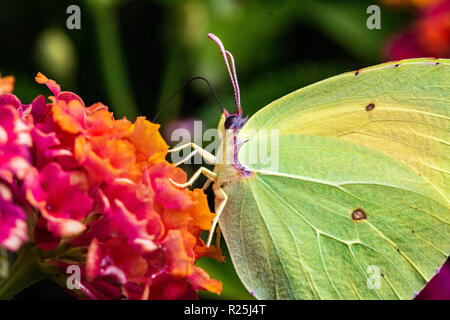 Detailed, Close up, Side View of a Brimstone Butterfly (Gonepteryx rhamni) Feeding on a warm Summer Day. Baia Sardinia, Sardinia, Italy. - Stock Photo