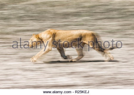 Lion (Pathera leo), Edge of Chobe River, Botswana, Africa - Stock Photo