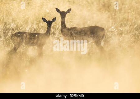 Impala (Aepyceros melampus), Khwai, Botswana, Africa - Stock Photo