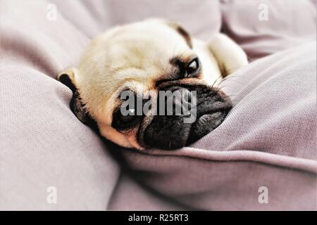 Conceptual photo portraying 'Daydreaming',with a one year old, male Pug dog used. - Stock Photo