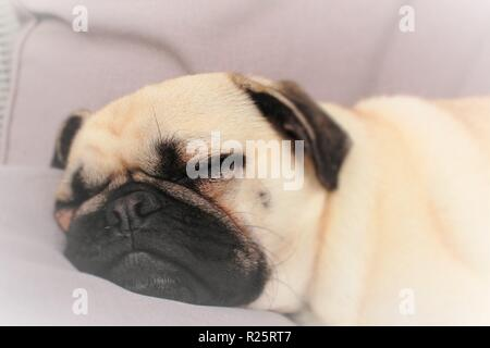 Conceptual photo portraying 'Dreaming',with a one year old, sleeping, male Pug dog used. - Stock Photo