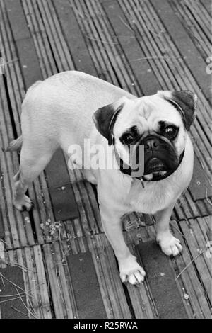 A one year old male Pug dog. - Stock Photo