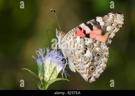 Painted Lady, Vanessa cardui, on mist flower, Conoclinium sp. - Stock Photo