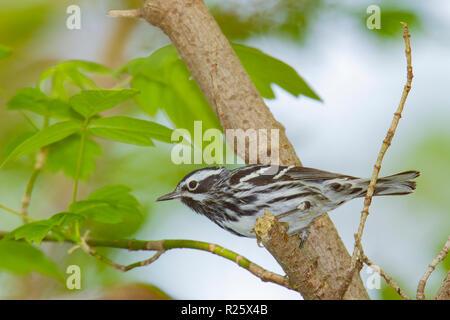 Black-and-white Warbler (Mniotilta varia), male, breeding plumage - Stock Photo
