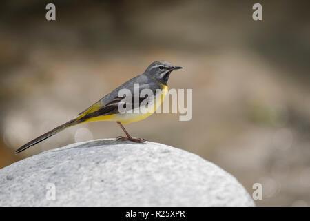 Grey wagtail (Motacilla cinerea) sitting on stone, Stubai Valley, Tyrol, Austria - Stock Photo