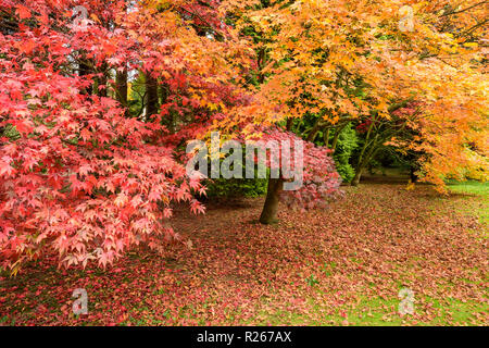 Vibrant & varied autumnal colours seen in parkland where Japanese maples (acers) display deep red & bright orange leaves - Yorkshire, England, UK. - Stock Photo