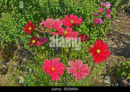 Close up of a flower border with colouful flowering Cosmos 'Rubenza' - Stock Photo