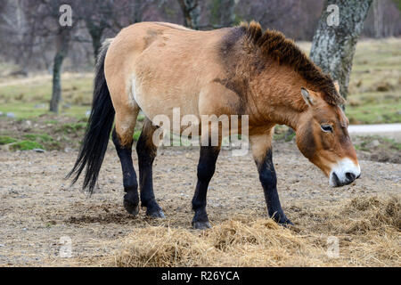 Przewalski's Horse, Highland Wildlife Park, Kincraig, Kingussie, Scotland, UK - Stock Photo