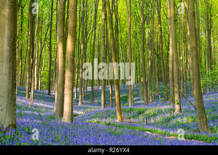 A beautiful natural carpet of bluebells at the Hallerbos forest in Belgium. - Stock Photo