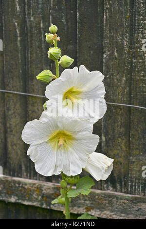 Close up of a flowering Alcea rosea or Hollyhock in a cottage garden - Stock Photo