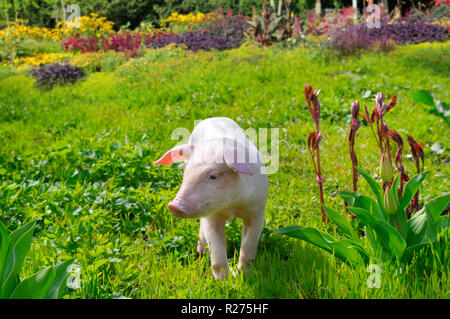 pig on a background of green grass and flowers - Stock Photo
