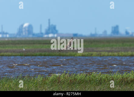 A Northern Harrier hovering over grass at Brazos National Wildlife Refuge, with an industrial complex in the background. Galveston, Texas, USA. - Stock Photo