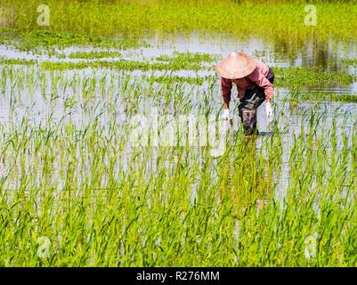 Vietnamese farmer working in rice paddy field during rainy season - Stock Photo