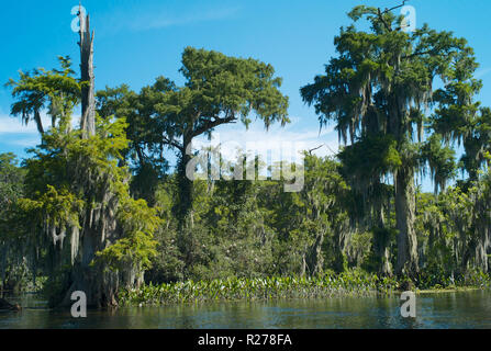 Magical Landscape with Swamp cypress tree with Hanging Spanish Moss in Wakulla Springs State Park, Florida, USA - Stock Photo