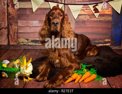 Red Irish Setter Dog in Calendar Themed Studio Pose - Stock Photo