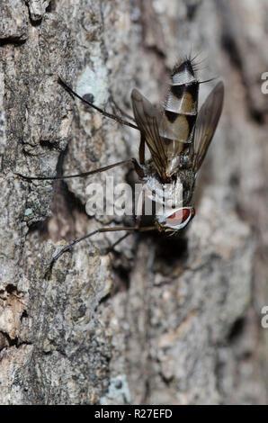Tachinid Fly, Zelia sp. - Stock Photo