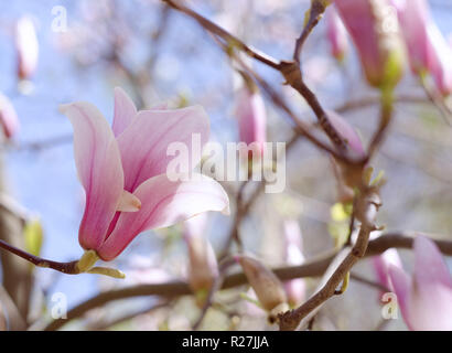 Beautiful magnolia tree blossoms in springtime. Jentle pink magnolia flower against blue sky. Romantic floral backdrop - Stock Photo