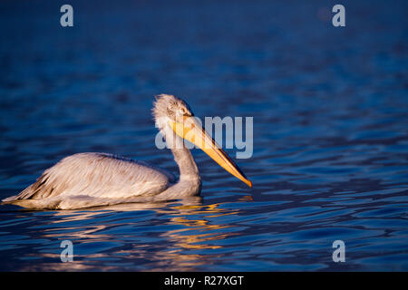 CLOSE PORTRAIT OF SINGLE PELICAN, Pelecanidae ON SUNSET - Stock Photo