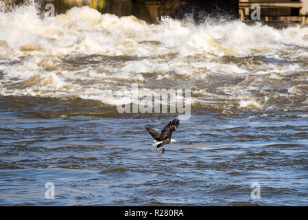 Mature Bald Eagle flying over the water with a just caught fish in his claws at the Conowingo Dam in Maryland - Stock Photo