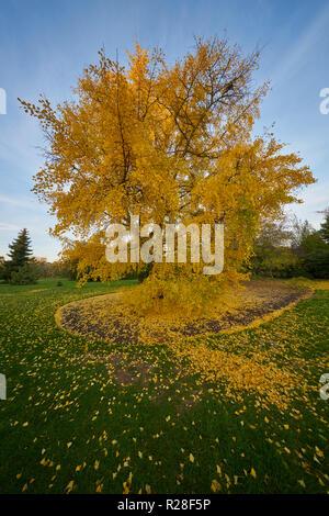 November 17. London.  yellow leaves a ginko tree Kew Gardens, the last days of autumn evening sun  © Marc Zakian Credit: marc zakian/Alamy Live News - Stock Photo