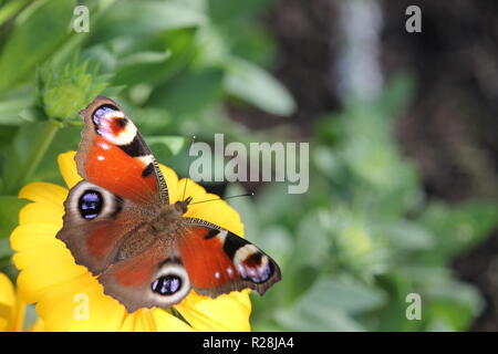 Aglais io, the European peacock, more commonly known simply as the peacock butterfly, is a colourful butterfly. - Stock Photo