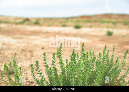 Close up of desert plant in a vast dry landscape with sparse vegetation in the background. - Stock Photo