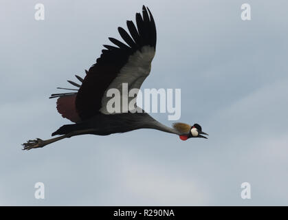 A grey crowned crane (Balearica regulorum) in flight over Lake Victoria. These birds, the national bird of Uganda,  are probably the East African  sub - Stock Photo