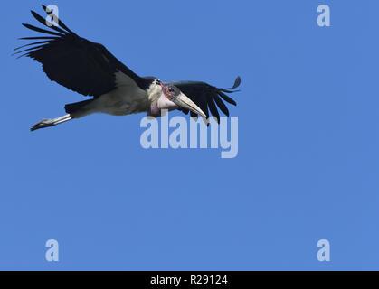Marabou stork (Leptoptilos crumenifer) in flight above the Kazinga Channel between Lake George and Lake Edward. Queen Elizabeth National Park, Uganda. - Stock Photo