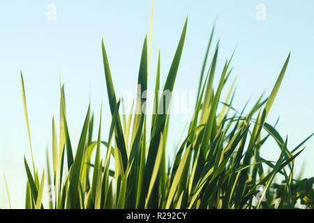 Blades of grass against blue sky