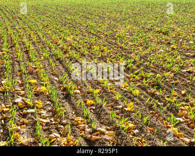 Green corn field within fall months. Agriculture background. Rows of green corn seedlings at fall season - Stock Photo