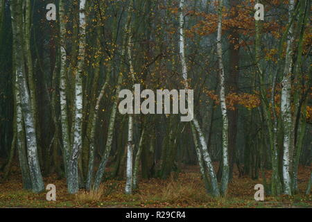 Silver Birch trees in autumn mist on Ashdown Forest - Stock Photo