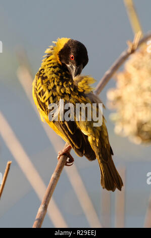 Zambia: Male Weaver Bird cleaning his yellow-black feders