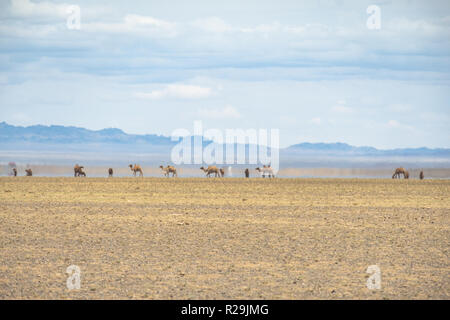 Bactrian camels on the move in the vast Gobi desert landscape with an inferior mirage in the background. - Stock Photo