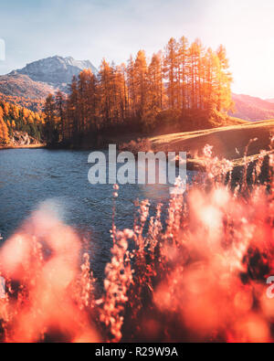 Picturesque view on autumn lake Silvaplana in Swiss Alps. Colorful forest with orange larch and snowy mountains on background. Switzerland - Stock Photo