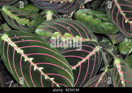Foliage from red prayers plant Maranta leuconeura - Stock Photo