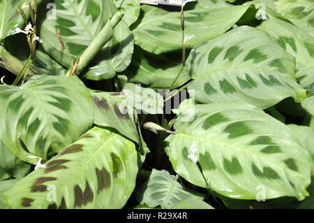 Foliage from Green prayers plant Maranta leuconeura kerchoveana - Stock Photo
