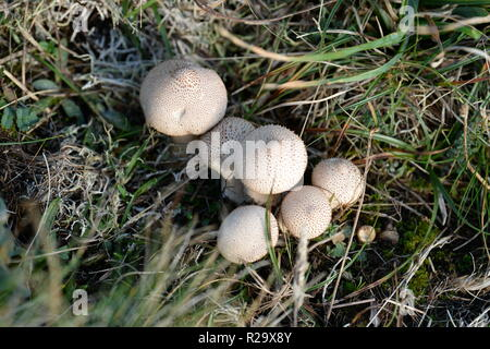 A clump of young Puffballs on grassland cliff face, Gower UK with central swelling at point of release of spores. - Stock Photo