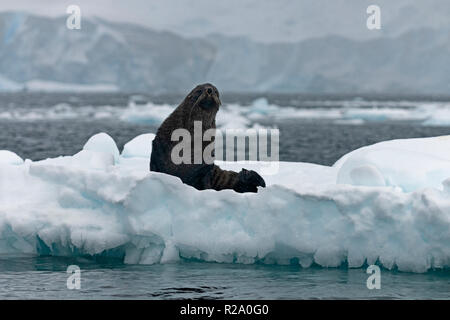 female antarctic fur seal sitting on ice berg crystal sound antarctic peninsula antarctica - Stock Photo