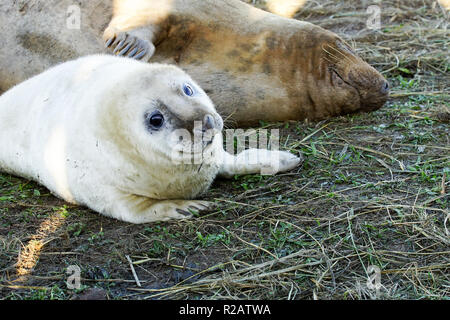 Donna Nook, Lincolnshire, UK. 18th Nov, 2018. Donna Nook Seal Colony Lincolnshire New Pups Arriving Everyday Credit: Duncan Penfold/Alamy Live News - Stock Photo