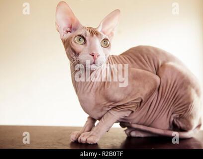 Hairless Don Sphynx cat - Stock Photo